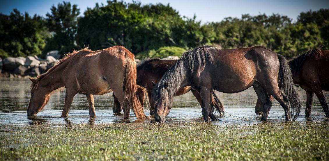 Cavallini al pascolo